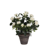Rozenstruik d25h33cm wit in pot